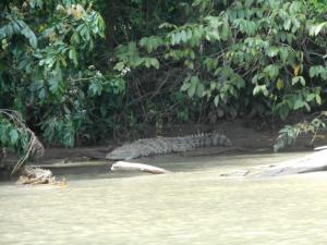 Krokodil in Tortuguero